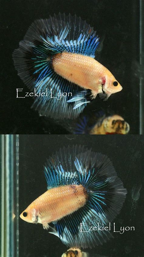 betta losing color 1659 best images about betta obsession on