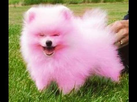 where to get pomeranian puppies pomeranian puppies overflowing cuteness