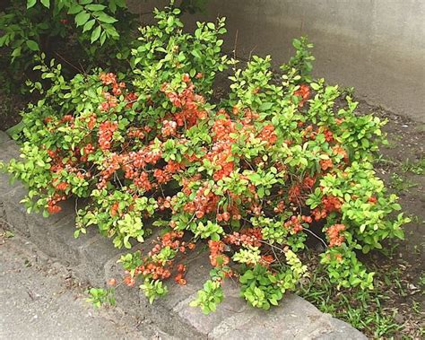 japanese flowering shrubs chaenomeles japonica shrub seeds flowering