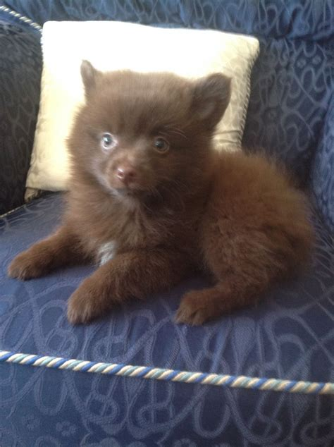chocolate pomeranian puppy pomeranian puppy chocolate ready now blackpool lancashire pets4homes