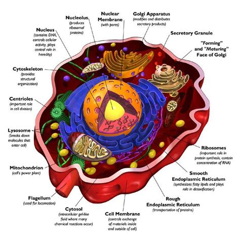 cross section of a animal cell single human cell the human body pinterest cross
