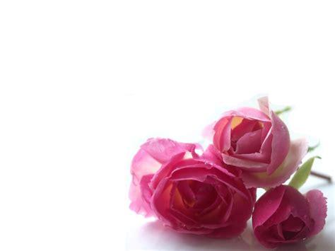 imagenes de rosas solitarias pin rosas tres vista completa 1440x900 lunes octubre 08 on