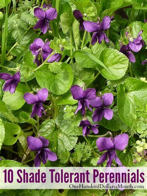 Flowering Perennials For Shade Gardens 10 Shade Tolerant Perennials One Hundred Dollars A Month