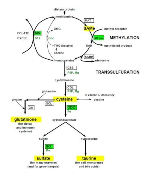 Mercury Detox With Mthfr And Cbs Mutations by Methylation Transsulfuration Showing Glutathione Gsh