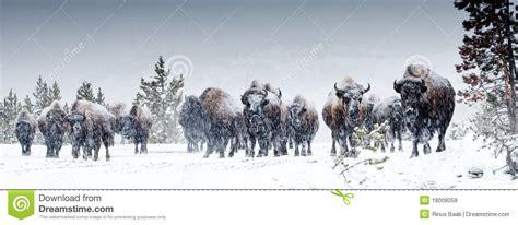 amerikanischer herd american bison herd stock photo image of ungulate