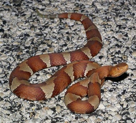 Garter Snake Vs Copperhead Harmless Snakes Vs Dangerous Snakes Animal Bliss