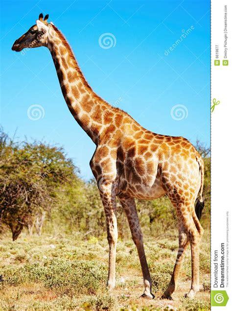 imagenes de jirafas salvajes wild giraffe stock image image of ecology savanna