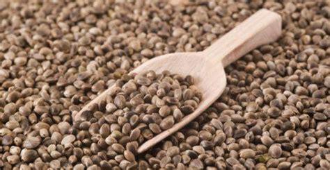 canapé pvc semi di canapa proprieta usi e dove trovarli greenme