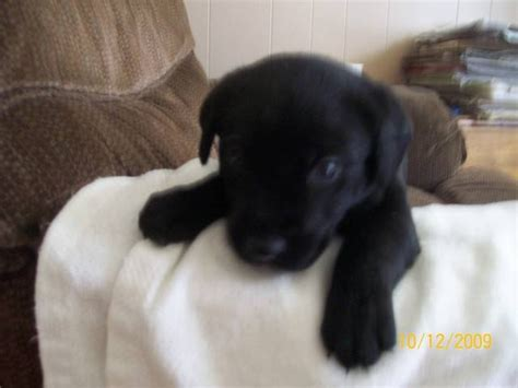 lab puppies for adoption black lab puppies for adoption breeds picture