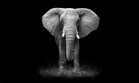 wallpaper elephant black white elephant on dark background nemstech supplies