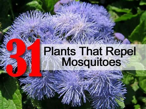 what plants keep mosquitoes away mosquito repelling plants gardening pinterest
