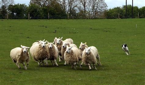 sheep herding dogs the herding dogs dirt simple