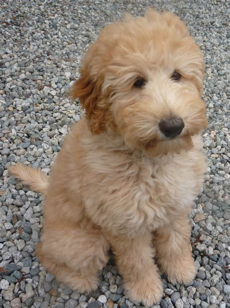 doodle name anis retired leapfrog labradoodles