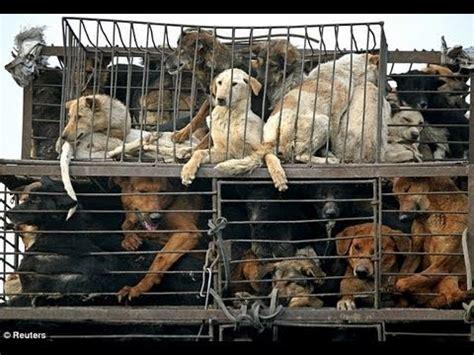 dogs killed  dog meat festival  china youtube