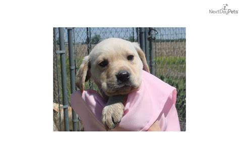 lab puppies for sale in illinois labrador retriever for sale for 350 near western il illinois 054bca5c 56d1