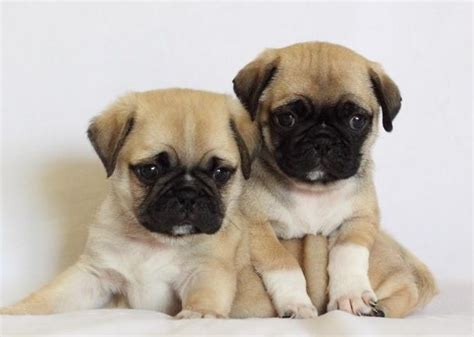 pug hypoallergenic puginese pekingese x pug mix breed info temperament puppies pictures