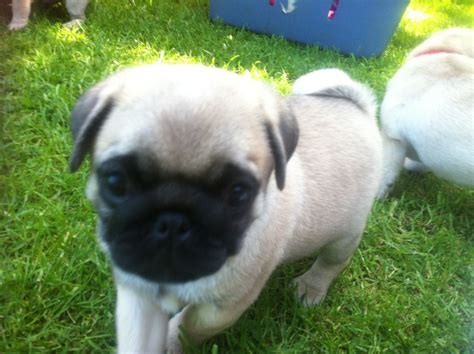 pug show dogs show quality pug puppies kc registered ch sired tamworth staffordshire pets4homes
