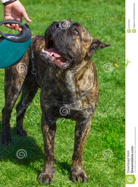 corso brindle puppy breed corso brindle standing royalty free stock photography image 31241527