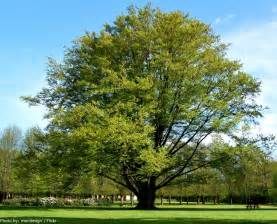 interesting facts beech trees just fun facts