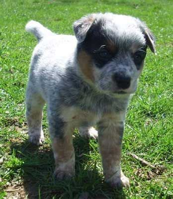 heeler puppies for sale in puppys puppies for sale and blue on