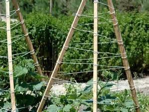 cornichon planter et cultiver ooreka