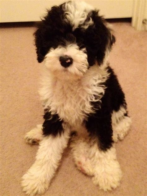 poodle breed 110 best mixed breeds images on dogs adorable animals and