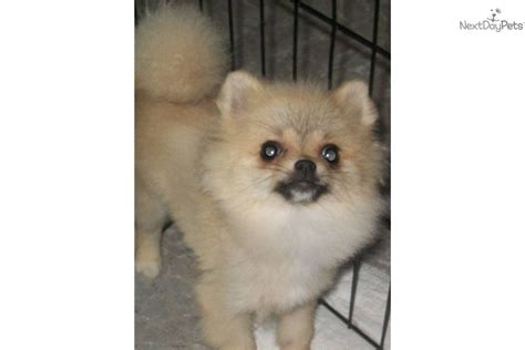 teacup pomeranian puppies for sale in ma meet gracie a pomeranian puppy for sale for 1 500 teacup in ma