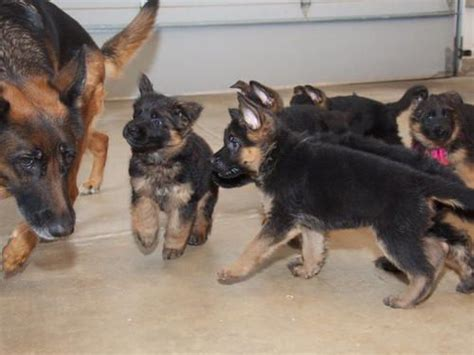 german shepherd puppies washington german shepherd puppies for sale marysville wa 198100 petzlover