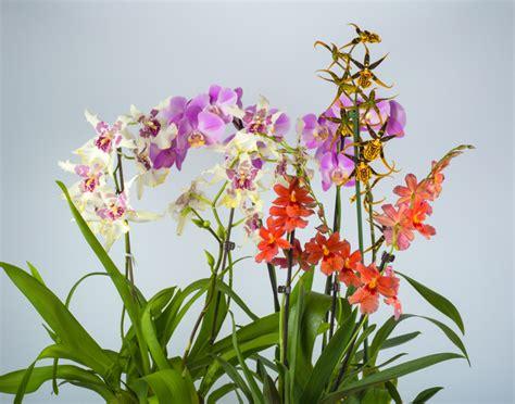 Wie Pflegt Eine Orchidee 4794 by Cambria Orchidee Pflegen 187 So Gedeiht Sie Bestens