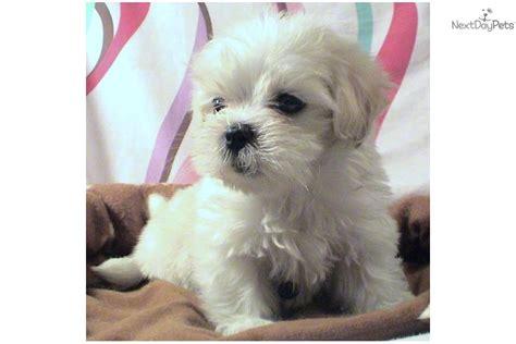 maltipoo puppies virginia malti poo maltipoo puppy for sale near hton roads virginia f51b8cf0 0791