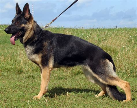 german shepherd puppies cost protection dogs low cost family protection guard dogs german shepherd breeds picture