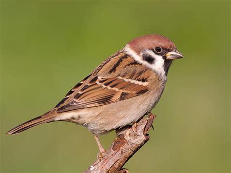 sparrows information