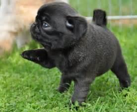 black pug puppies pictures black pug puppy black pug puppies