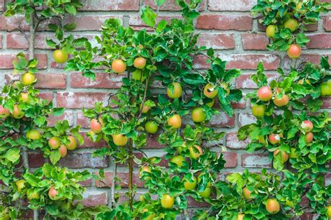growing fruit tree hedges popular fruit trees that can make hedges