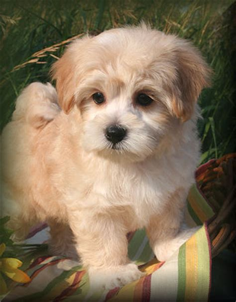 puppies for sale in nj 300 maltipoo puppies for sale in new jersey