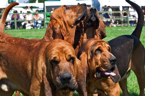 dogs site bloodhound breed pictures photos images