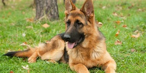 how do german shepherds live german shepherd