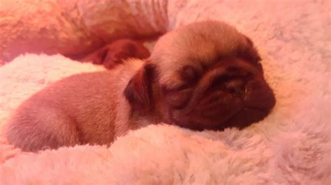 baby pugs facts must see amazing baby pugs 1 fawn ready now rotherham south pets4homes