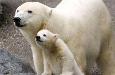 imagenes animales con sus crias 19 fotos extremadamente adorables de animales con sus