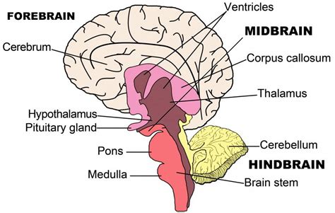 three main sections of the brain human biology online lab quot brain quot by kelsey buss