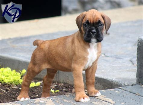 miniature boxer puppies mini boxer puppy for sale 18 free hd wallpaper dogbreedswallpapers
