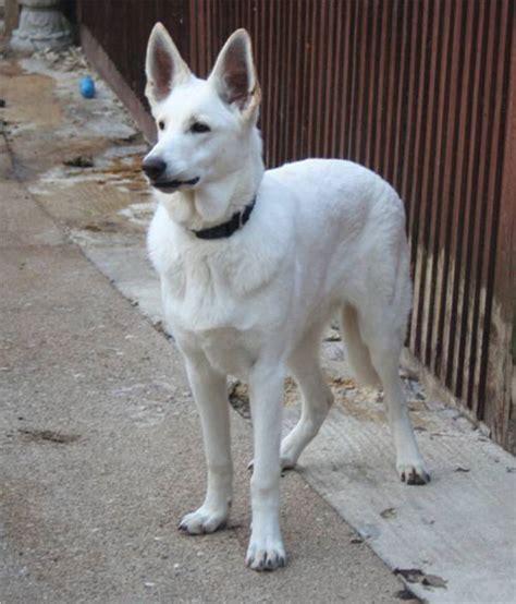 white german shepherd puppies for adoption colorado white german shepherd rescue
