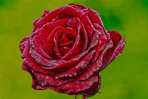 flower expert red and pink roses image free photo rose flower red rose red plant free