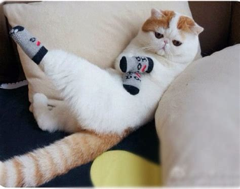 sock cat caterville cats wearing socks