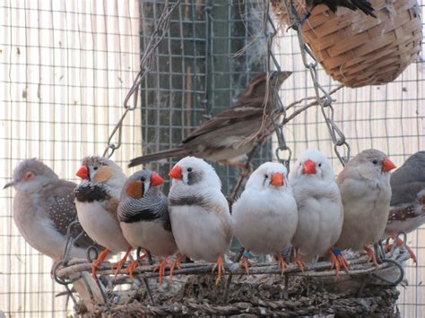 how to keep a zebra finch the finch weekly