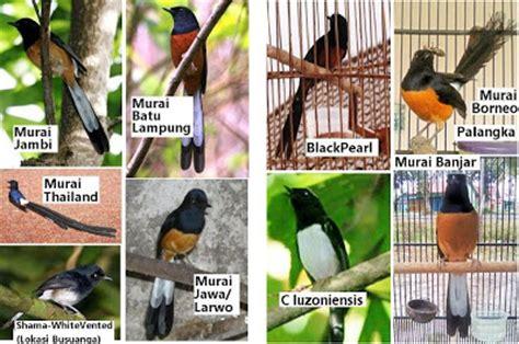 murai batu foto burung kolibri ninja jantan my 2nd blog murai trotol yang bagus burung master share the knownledge
