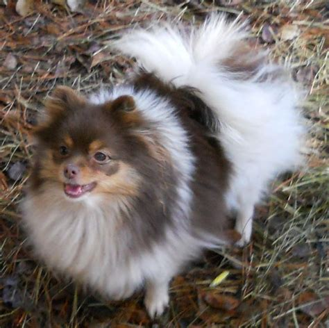 parti colored pomeranians chocolate parti pomeranian