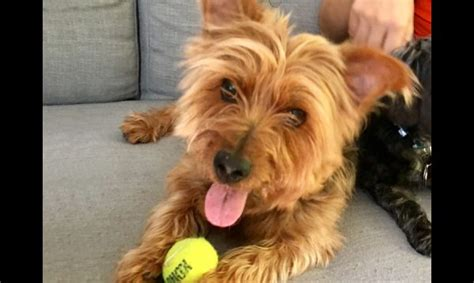 20 pound yorkie zippy terrier mix 8 year 20 lb adopted amsterdog rescue