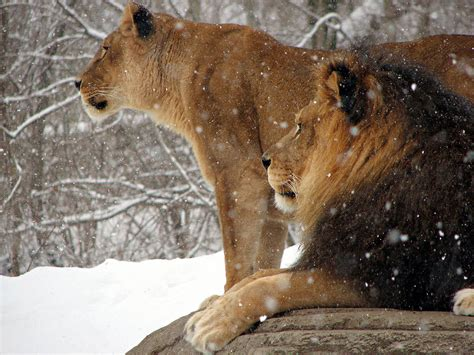 file african lion panthera leo snow pittsburgh 2816px