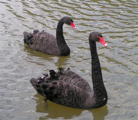 black swan black swan the life of animals